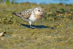 Sanderling Royalty Free Stock Photo