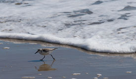 Sanderling or sandpiper on seashore. A sandpiper or sanderling running from the tide Stock Photography