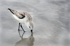 Free Sanderling Sandpiper Shore Bird On The Hilton Head Island Beach Royalty Free Stock Image - 168021806