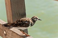 Sanderling, seabird, umieszczał drewniany poręcz przy tropikalną plażą obrazy stock