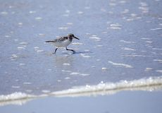 Sanderling searching for food on foreshore in Tiree royalty free stock photo