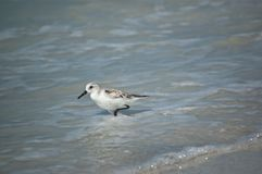 Sanderling on the Shore Stock Photos