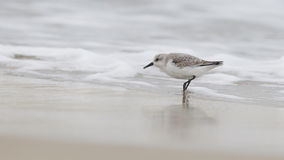 Sanderling on the shore Stock Images