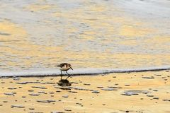 Sanderling on the shore Royalty Free Stock Photography