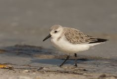 sanderling shorebird Zdjęcia Royalty Free