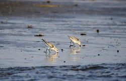 Sanderling shorebirds on beach, Hilton Head Island. Sanderling bird, Calidris alba, on beach surf. Hilton Head Island, South Carolina, USA. Fish Haul Park and Royalty Free Stock Image