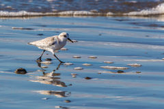 Sanderling Royalty Free Stock Photography