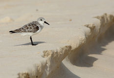 Sanderling standing on beach sand Stock Photos