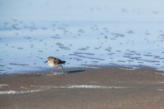 Sanderling stands on a beach Royalty Free Stock Photo