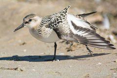 Sanderling Stock Photography