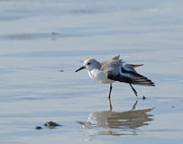 Sanderling Stretching Stock Photography