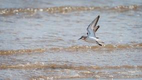 Sanderling tijdens de vlucht voor het overzees op een zonnige dag stock fotografie