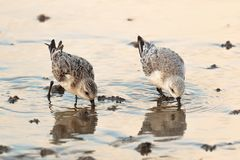 Sanderling waders or shorebirds, Calidris alba. UK. Sanderling waders or shorebirds, Calidris alba, feeding at the shoreline, varying plumages. Dorset, England Royalty Free Stock Image