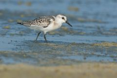 Sanderling Royalty Free Stock Image