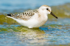 Sanderling Royalty Free Stock Photos