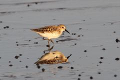 Sanderling in shallow water in Delaware. This sanderling was photographed near DuPont Nature Center in Central Delaware Stock Photography