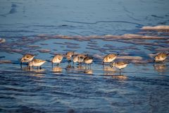Sanderlings σε μια παραλία Στοκ Φωτογραφίες