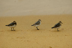 Sanderlings Fotografia de Stock