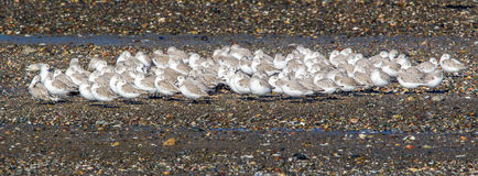 Sanderlings Fotografía de archivo libre de regalías