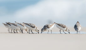 Sanderlings foto de stock