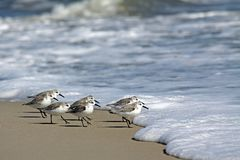 Sanderlings in Assateague-Eiland Nationale Kust royalty-vrije stock fotografie