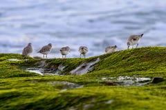 Sanderlings au rivage Image stock