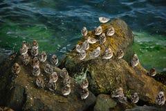 Sanderlings birdwatching a Dublino l'irlanda fotografie stock