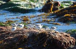 Sanderlings (Calidris alba) подавая вдоль берега в пляже Laguna, Калифорнии Стоковые Фотографии RF