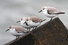 Sanderlings (Calidris alba) Stock Photo