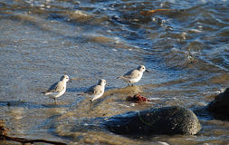 Sanderlings (Calidris alba) que alimentan a lo largo de la orilla en Laguna Beach, California Foto de archivo libre de regalías