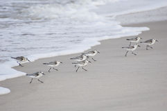 Sanderlings Royalty Free Stock Images