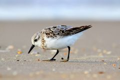 Sanderlings (Calidris alba). Sanderling (Calidris alba) feeding in the Atlantic ocean Stock Photos