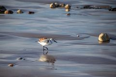 Sanderlings Calidris alba small wading birds searching for food at the waters edge in Agadir, Morocco, Africa. At sunset dusk twilight stock images