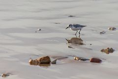 Sanderlings Calidris alba small wading birds searching for food at the waters edge in Agadir, Morocco, Africa. Sanderlings Calidris alba small wading bird royalty free stock images