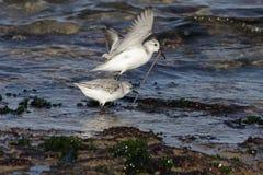 Sanderlings che combattono per un verme Immagine Stock