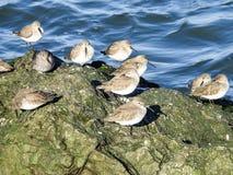 Sanderlings, die im Sun auf einer Anlegestelle in Barneget-Bucht sich aalen Stockfotografie