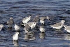 Sanderlings, die nach Lebensmittel suchen stockfotos