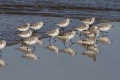 Sanderlings durante a maré baixa fotos de stock
