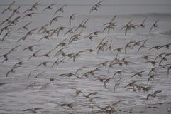 Sanderlings em voo Fotografia de Stock Royalty Free