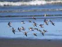 Sanderlings en vol Images stock