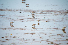 Sanderlings feeding on shore Stock Photography