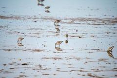 Sanderlings feeding on shore Stock Photography