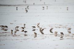 Sanderlings feeding on shore Royalty Free Stock Image