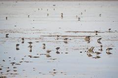 Sanderlings feeding on shore Stock Photo
