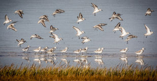 Sanderlings in flight Stock Image