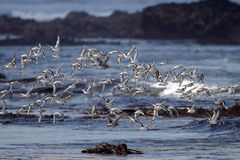 Sanderlings in flight Stock Images