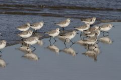 Sanderlings during low tide. Sanderlings looking for food during low tide with beautiful reflections on the wet sand Stock Photos