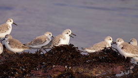 Sanderlings in the morning Royalty Free Stock Photography