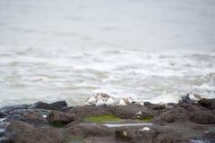 Sanderlings op de rotsen Stock Foto's