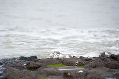 Sanderlings on the rocks Stock Photos
